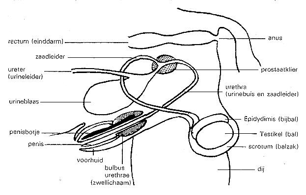 Mannelijk geslachtsapparaat