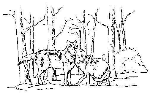 hoe oud kunnen wolven worden