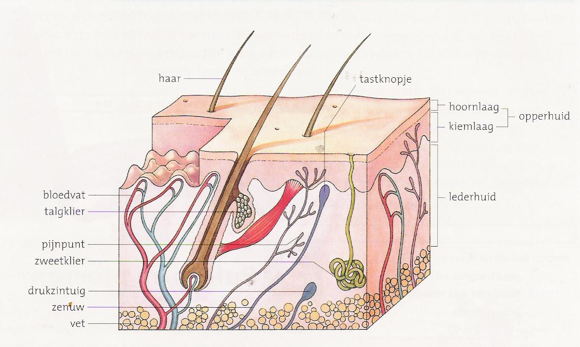 Afbeeldingsresultaat voor huid doorsnede