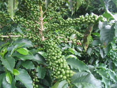 welke stof bevat koffiepoeder